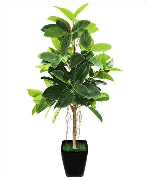 cây thuộc ho cao su