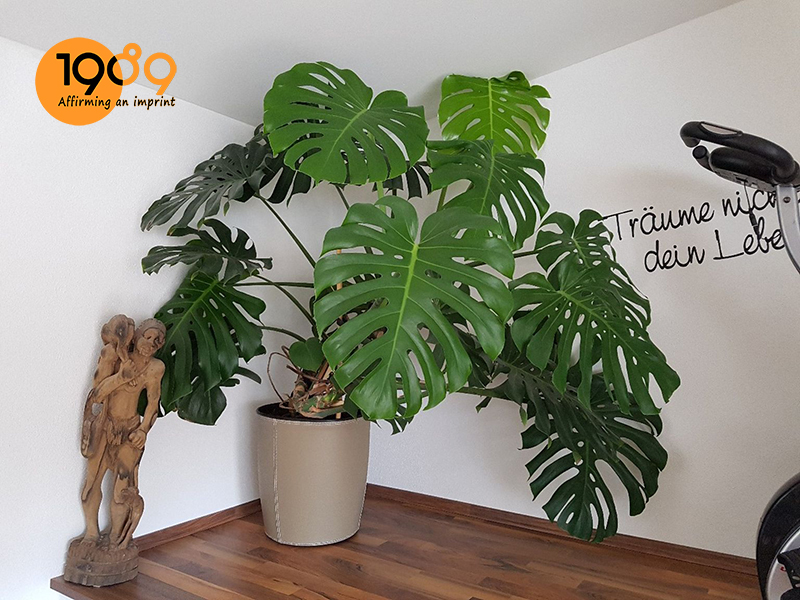 Hình thái cây trầu bà Nam Mỹ