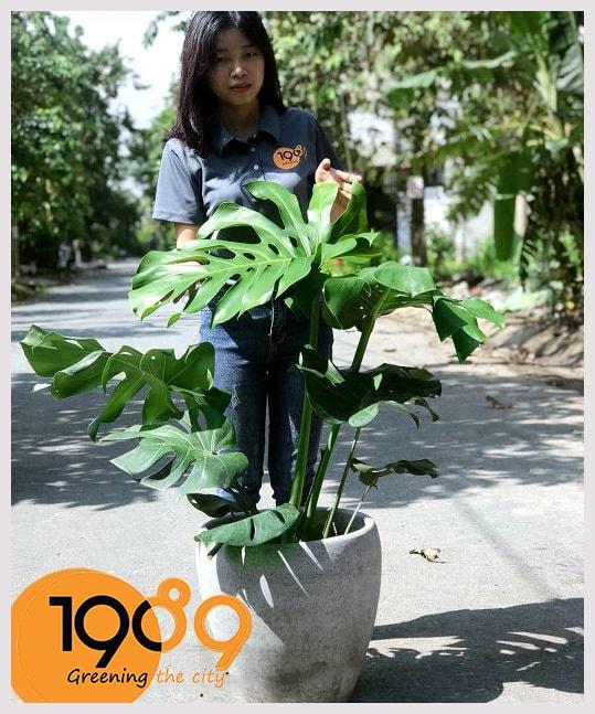 Trầu Bà Nam Mỹ - Loài cây điển hình cho Tropical Style